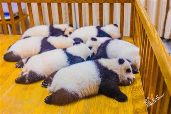 熊猫程可爱照片