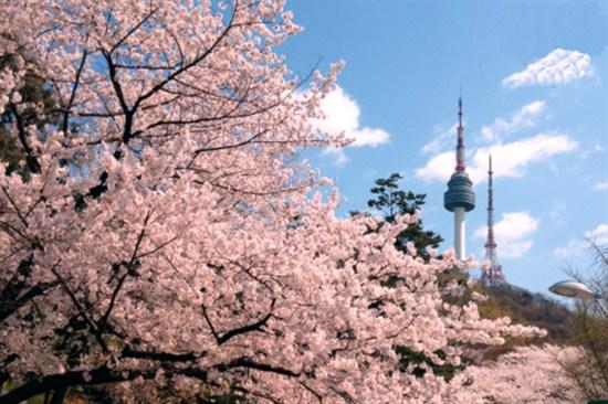 N首爾塔櫻花