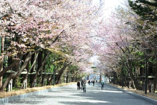 北海道神宮櫻花