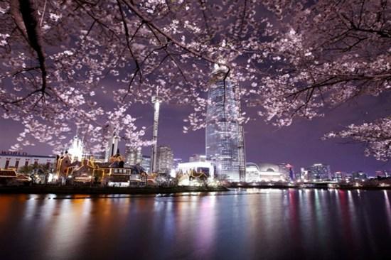 石村湖水公園賞夜櫻