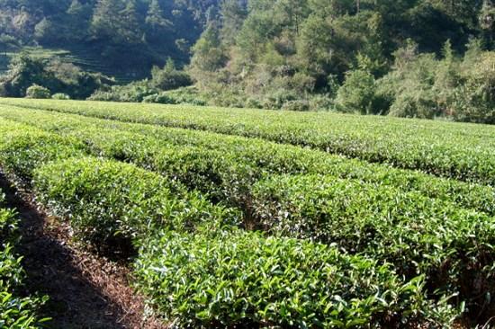大紅袍茶園