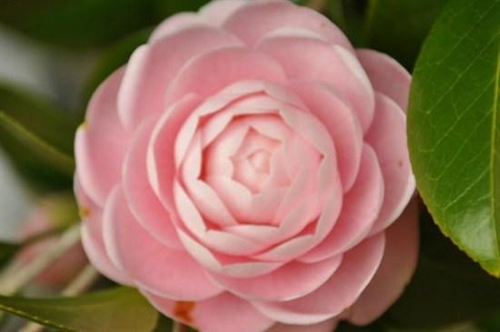 Camelliahill山茶花庭園