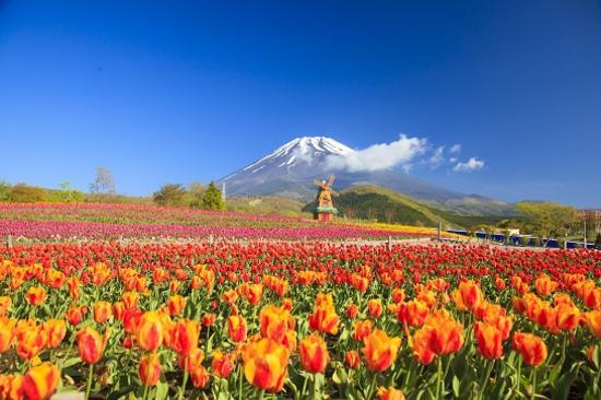 富士山七彩花田