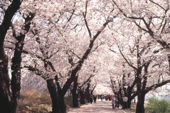大王岩公園櫻花