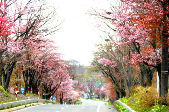 地獄谷櫻花