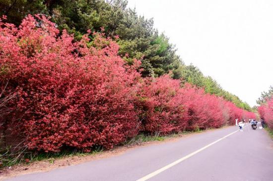 濟州石楠路