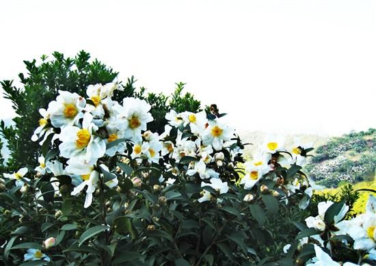 清涼寨~茶花