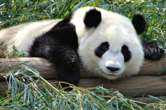 成都熊貓繁殖基地