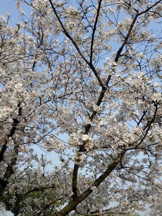 東湖磨山櫻花園(3月20-27日出發)