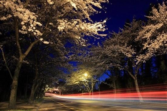 濟州大學門前(賞夜櫻)