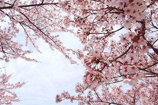 濟州大學(3月25日至4月10日出發賞櫻適用)