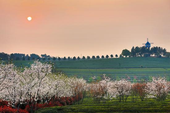 鳳凰溝的櫻花