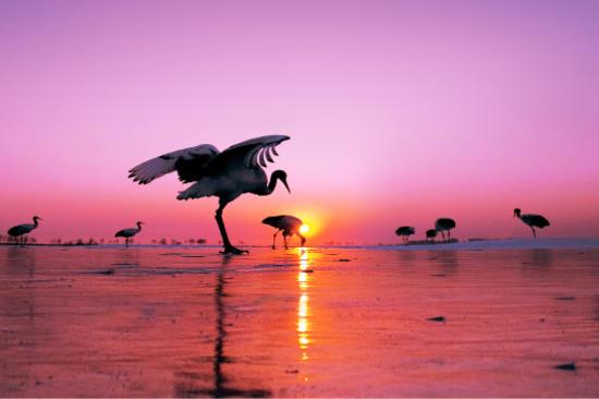 齊齊哈爾紮龍自然保護區-丹頂鶴