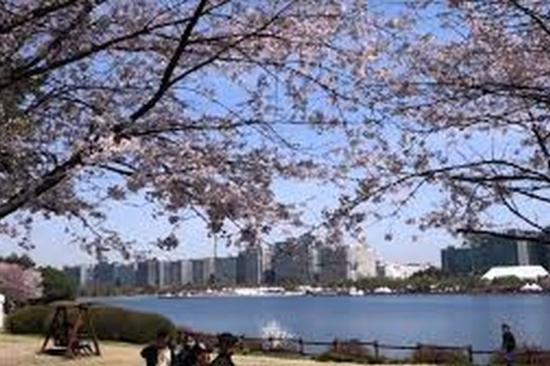 一山湖水公園櫻花