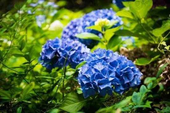翰林公園~繡球花