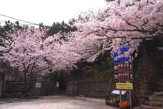 海東龍宮寺櫻花