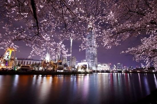 蠶室石村湖畔賞夜櫻