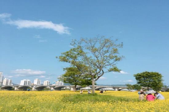 太和江大公園油菜花