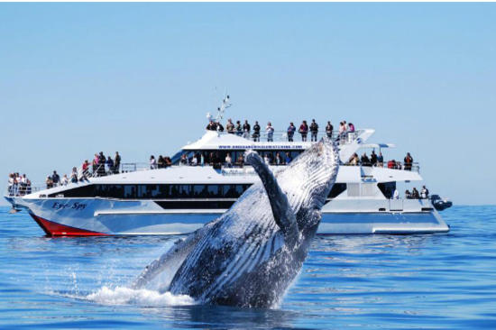 Whales watching gold coast