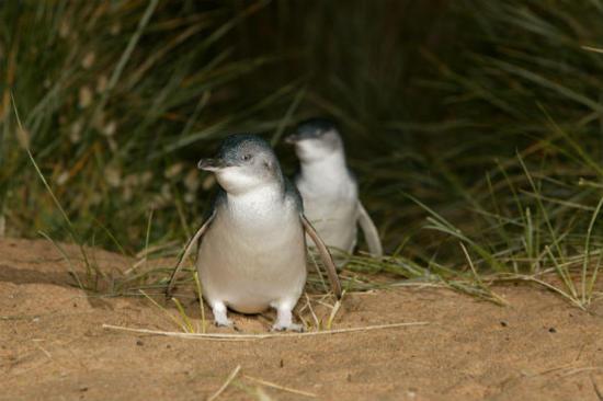 夜觀神仙企鵝回巢3